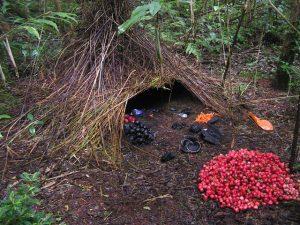 Nest of the volgal bowerbird of Papua New Guinea, www.