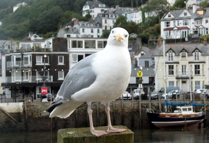 A Cornish seagull