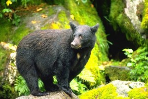 Tongass Black Bear