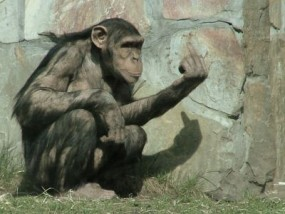 chimp_giving_the_finger_by_Fuxx