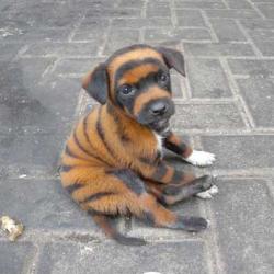 striped dog