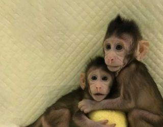 Scientists Just Cloned Monkeys. Humans Could Be Next.