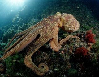 """Alien"" octopuses ""arrived on Earth from space as cryopreserved eggs"""